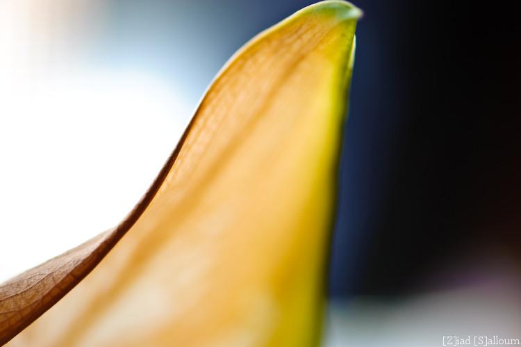 Shark-Fin Leaf