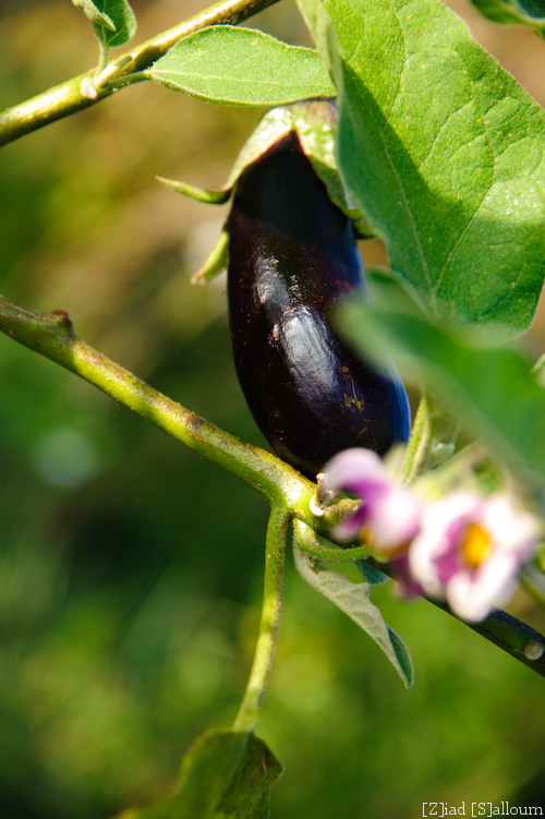 Aubergine! (D700, Tamron 24-135mm f/3.5-5.6 @ 135mm, f8, ISO 200, 1/80sec + flash SB900 zoomed to 180mm)